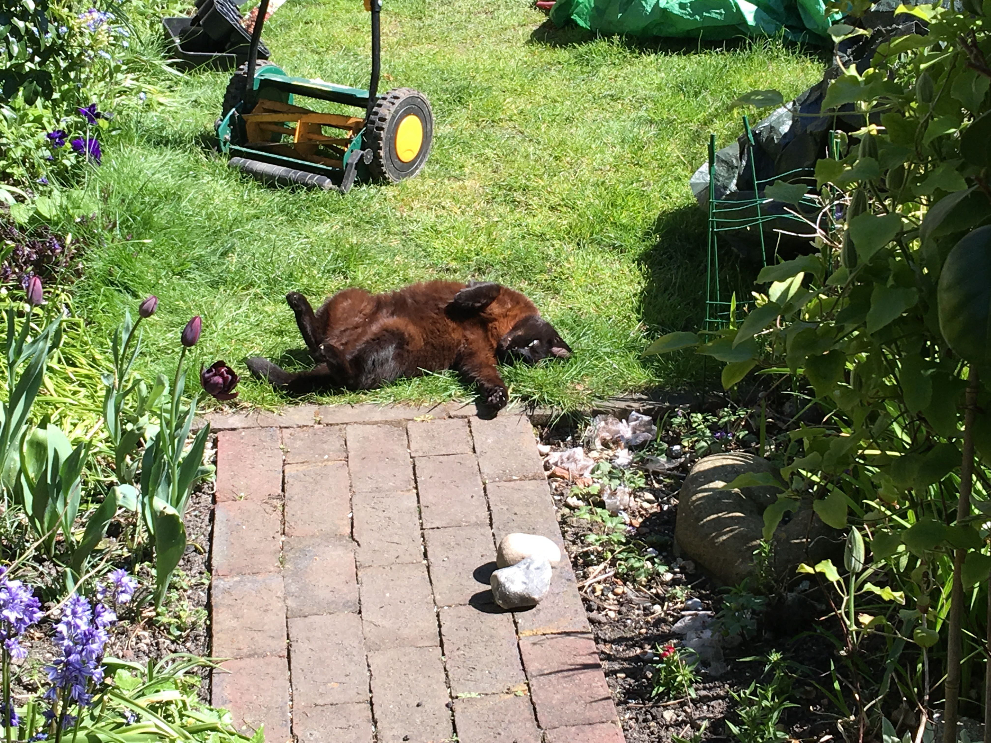 Sheba supervising the lawn cutting