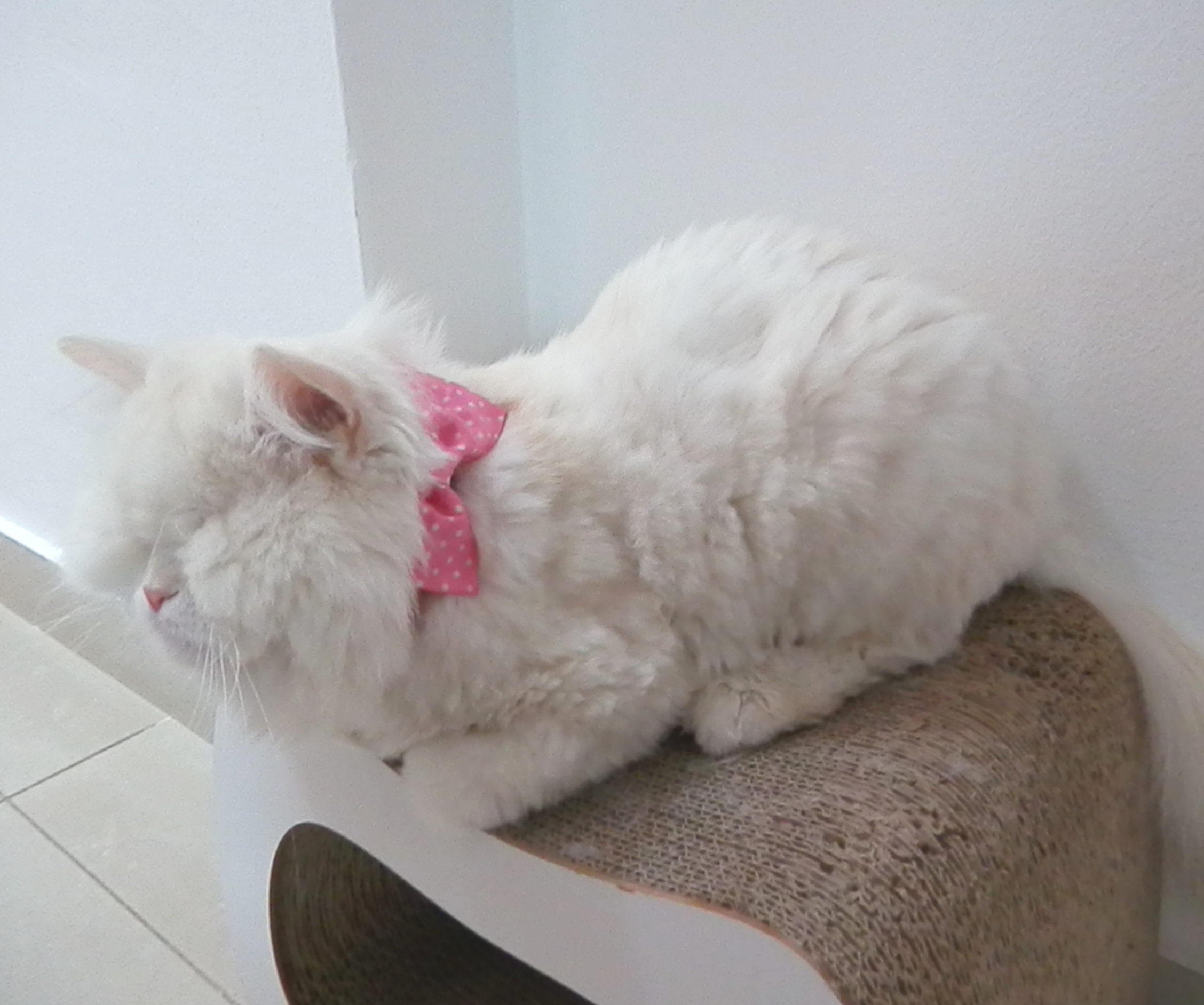 Moet with pink bow collar